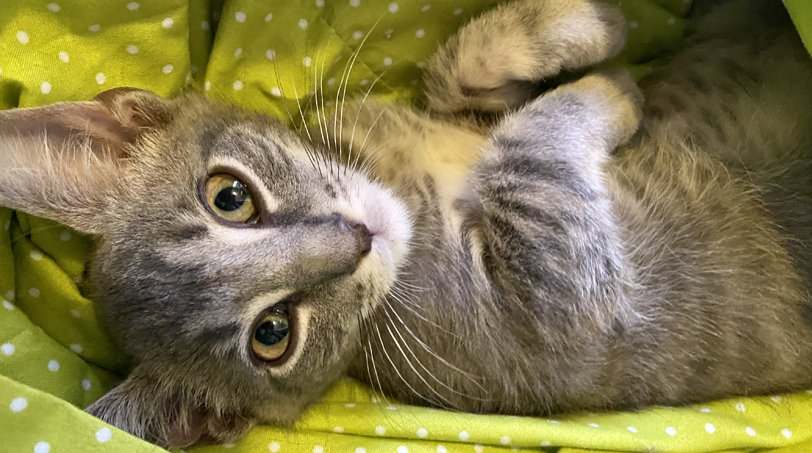 Adopt A Cat From Nate's Animal Rescue | Kitten